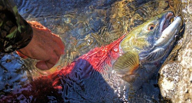 Salmon, River, Fish, Fishing, Red, Sockeye, Nature