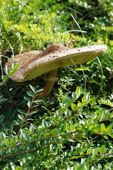 Parasol, Mushroom, Screen Fungus, Autumn, Boletes