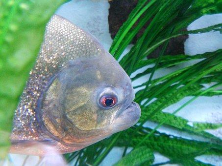 Piranha, Fish, Dangerous