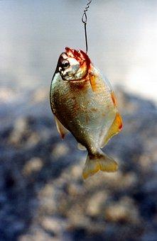 Fish, Piranha, Dangerous, Predator, Predatory Fish