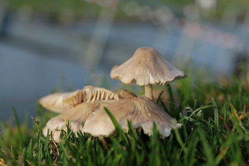 Mushrooms, Boletes, Fungi, Granulatus, Schmerling