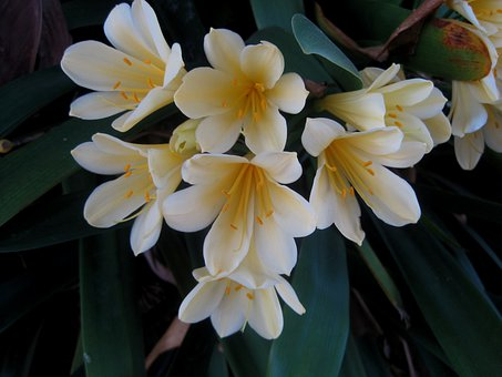 Clivia Miniata, Natal Lily, Flowers, Bush Lily, White