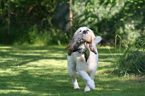 Golden Retriever, Apport, Wild, Duck, Hunt