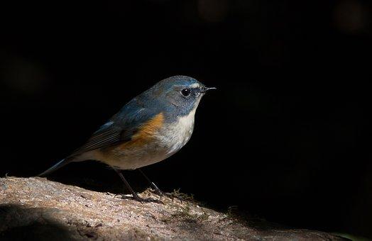 Red Flanked Bluetail, Birds, Animals, Wild Life