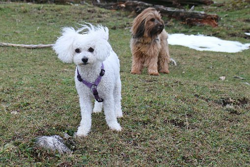 Dog, Dogs, Friends, Small Dog, Winter, White, Bichon