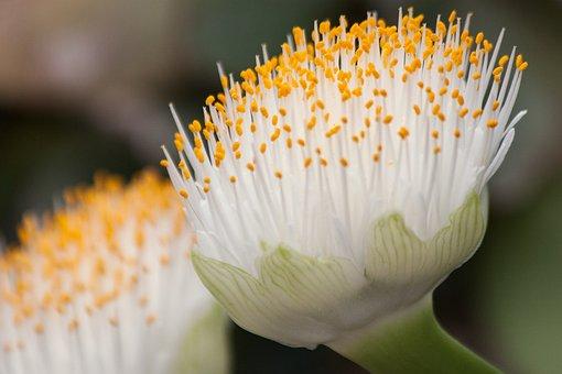 White Blood Flower, Flowers, White, Yellow