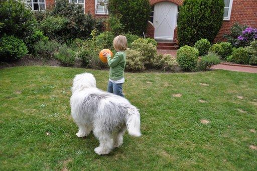 Bobtail, Dog, Child, Young, Boy, Fellig, Play, Ball