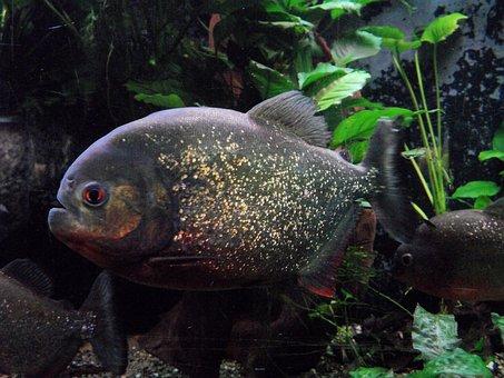 Piranha, Aquarium, Zoo, Underwater, Water, Fish