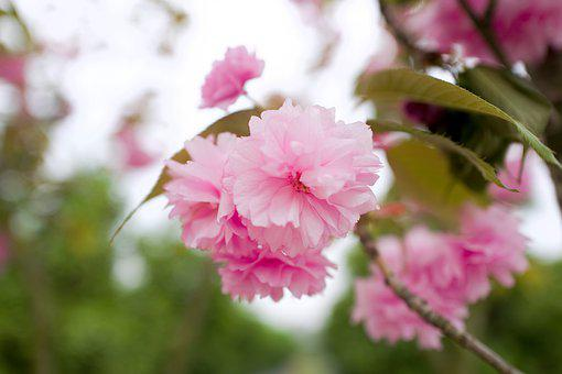 Flower, Plant, Spring, China, Pink, Natural