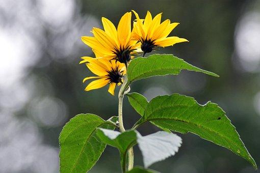 Sunflowers, Sunflower, Flower, Summer, Nature, Garden