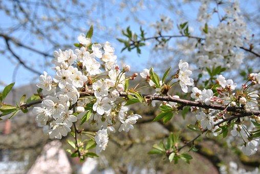 Cherry, Blossom, Bloom, Tree, Garden, Sky, Plant, Smell