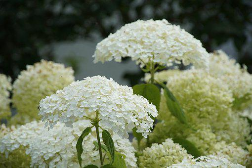 Hydrangea, Flowers, White, Garden