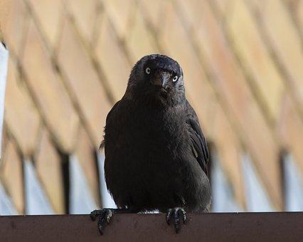 Jackdaw On Roof, Jackdaw, Black Bird, Crow, Bird, Beak