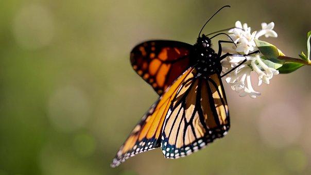 Monarch Butterfly, Rice Flowers, Australian Plant