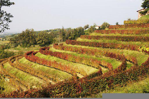Vineyard, Wine, Grapes, Viticulture, Nature