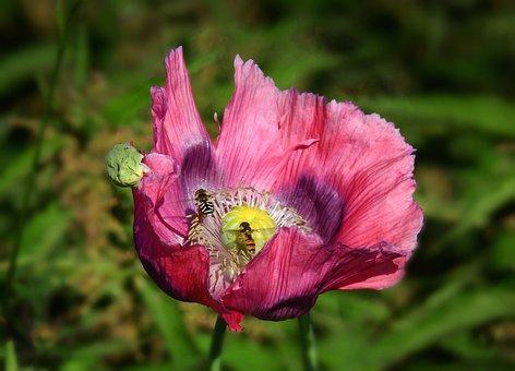 Poppy, Flower, Plant, Bloom, Petal, Seed Head