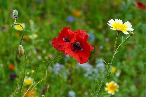 Poppy Flower, Poppy, Flower Meadow, Meadow
