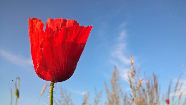 Poppy, Meadow, Flower, Klatschmohn