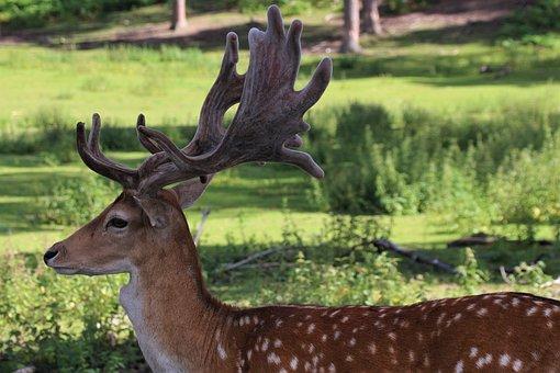 Deer, Red Deer, Hirsch, Wild, Nature, Animal, Antler