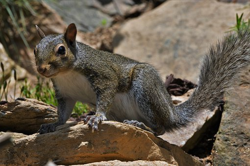 Squirrel, Gray, Animal, Rodent, Cute, Wildlife