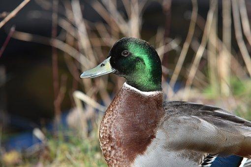 Green Collar, Duck, Plumage, Animals, Birds, Beak