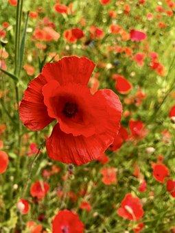 Poppies, Blossom, Bloom, Mohngewaechs, Poppy Flower