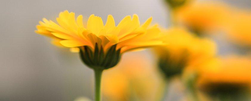 Marigold, Calendula, Flower, Plant, Blossom, Bloom