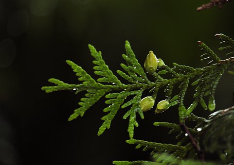 Branch, Drop, Green, Needles, Background, Nature, Abies