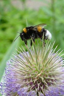Kaardebol, Dipsacus Fullonum, Bumblebee, Bug, Nectar