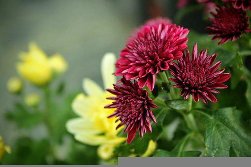 Chrysanthemum, Flowers, Flower Bud, Plant, Nature