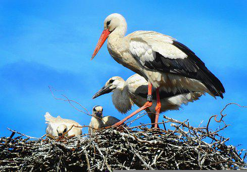 Stork, Wading Bird, Animal, Ciconia Ciconia, Wing