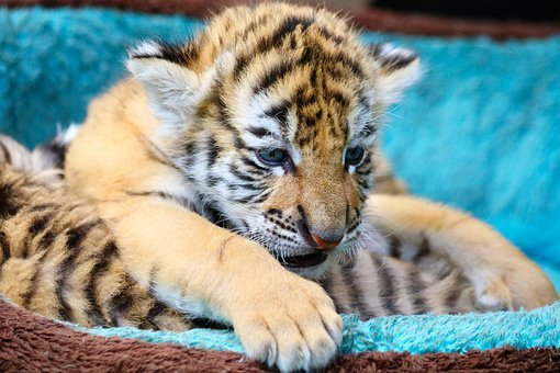Tiger, Cub, Animal, Mammal, Kitten, Cute, Playful, Cat