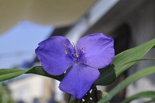 Flower, Petals, Herbaceous, Tradescantia Fluminensis