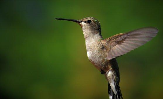 Hummingbird, Flying, Flight, Humming, Bird, Nature