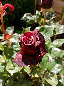 Rose, Flower, Garden, Red, Love, Romantic, Petals