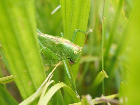 Grasshopper, Green, Insect, Nature, Viridissima