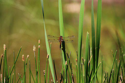 Dragonfly, Insect, Wing, Nature, Protection Of Species