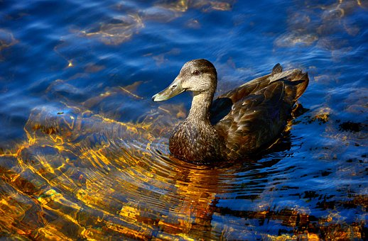 Duck, Lake, Reflections, Black Duck, Nature, Colors