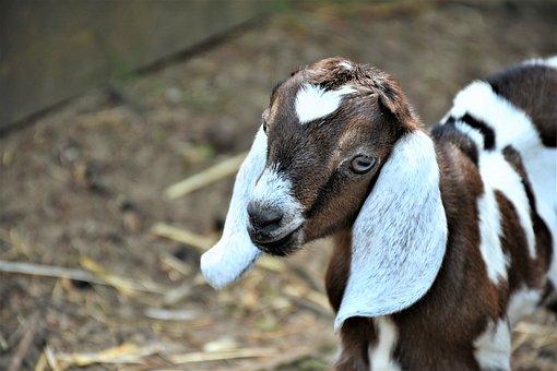 Goat, Boer Goat, Kid, Livestock, Ears, Mammal, Head