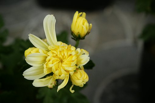 Chrysanthemum, Flowers, Blossom, Plant, Nature