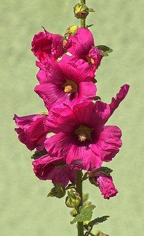 Ordinary Stock Rose, Hollyhock, Poplar Garden Rose
