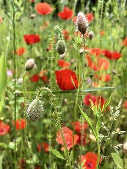 Poppies, Poppy, Poppy Buds, Mohngewaechs, Poppy Flower