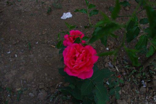 Chinese Rose, Flower, Rose