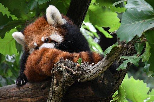 Redpanda, Tree, Grooming, Fur, Tail, Marble