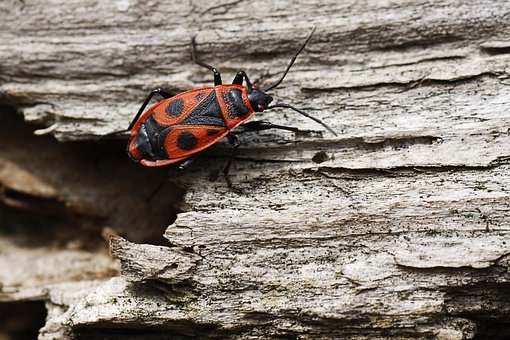 Fire Beetle, Beetle, Insect, Wood, Insect Photo, Red