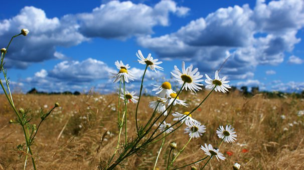 Field, Daisies, Clouds, Bloom, Petals, Smell, Beauty