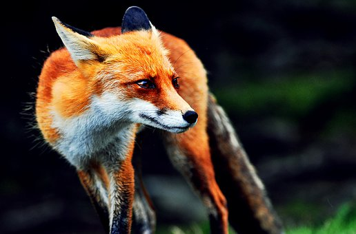 Fox, Mammal, Animal, Wildlife, Nature, Fauna