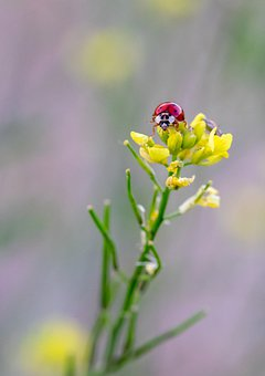 Ladybug, Insect, Flower, Yellow, Field, France