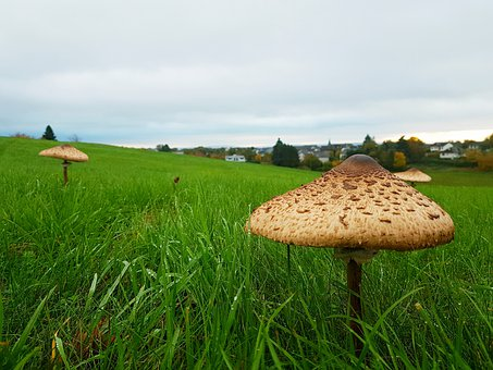 Mushroom, Meadow, Sulphur Heads, Green