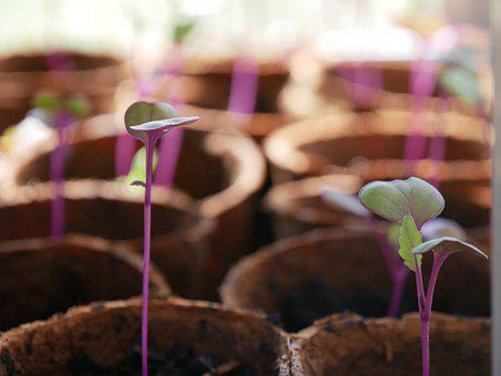 Plant, Seedling, Sprout, Grow, Pot, Green, Purple